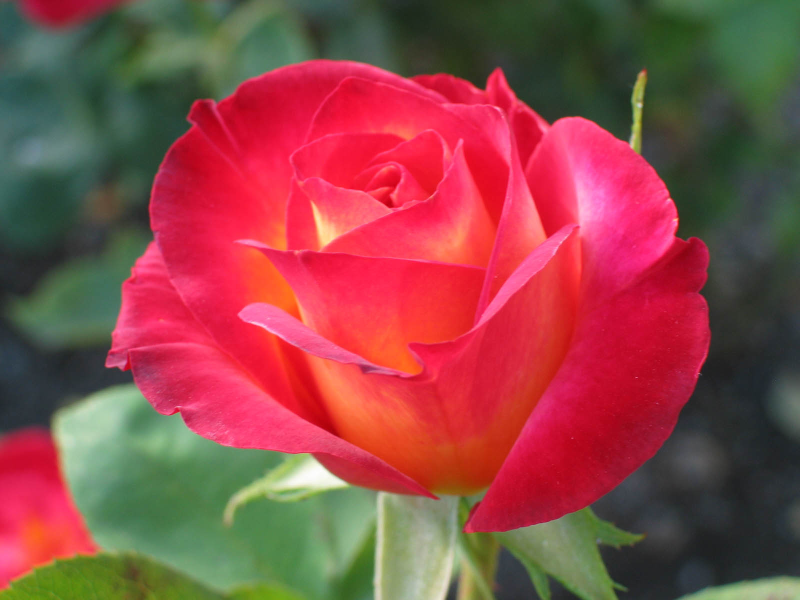 Romantic Flowers: Rose