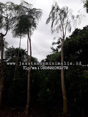 Tanaman Moringa Kelor Afrika