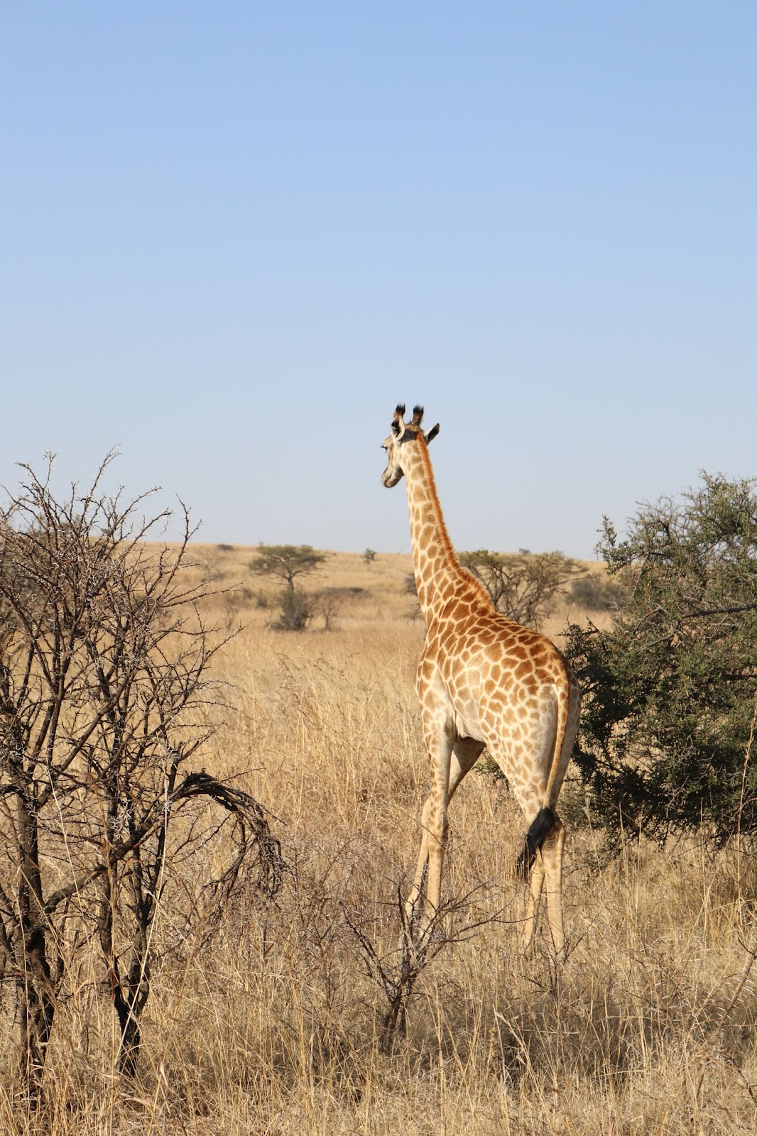 Giraffe in the Nambiti Game Reserve, South Africa