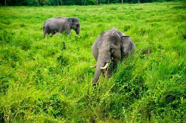 Elephants at Kaziranga National Park (photo - Nassif Ahmed)