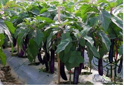 Tanaman terong (solanaceae) - pustakapengetahuan.com