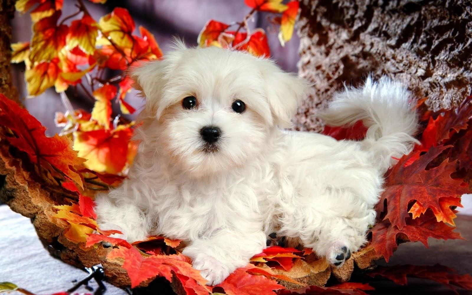 Beautiful Cute Puppies Wallpapers Free Hd Desktop Wallpapers Download