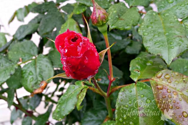 Rain-kissed rosebud