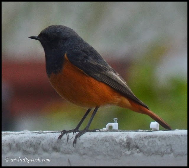 Black Redstart Side View