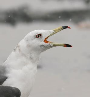Black-tailed Gull, Newfoundland, Canada, North Ameria