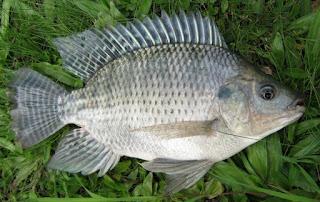 Umpan-Ikan-Nila-Liar