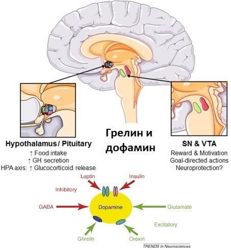 Грелин и дофамин