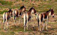 ohren des pferdes