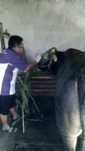 Pemeriksaan Antemortem Sapi Qurban Jejaring Lazismu Jember oleh PDHI Jatim VII