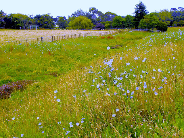 Field full of blue chicory flowers