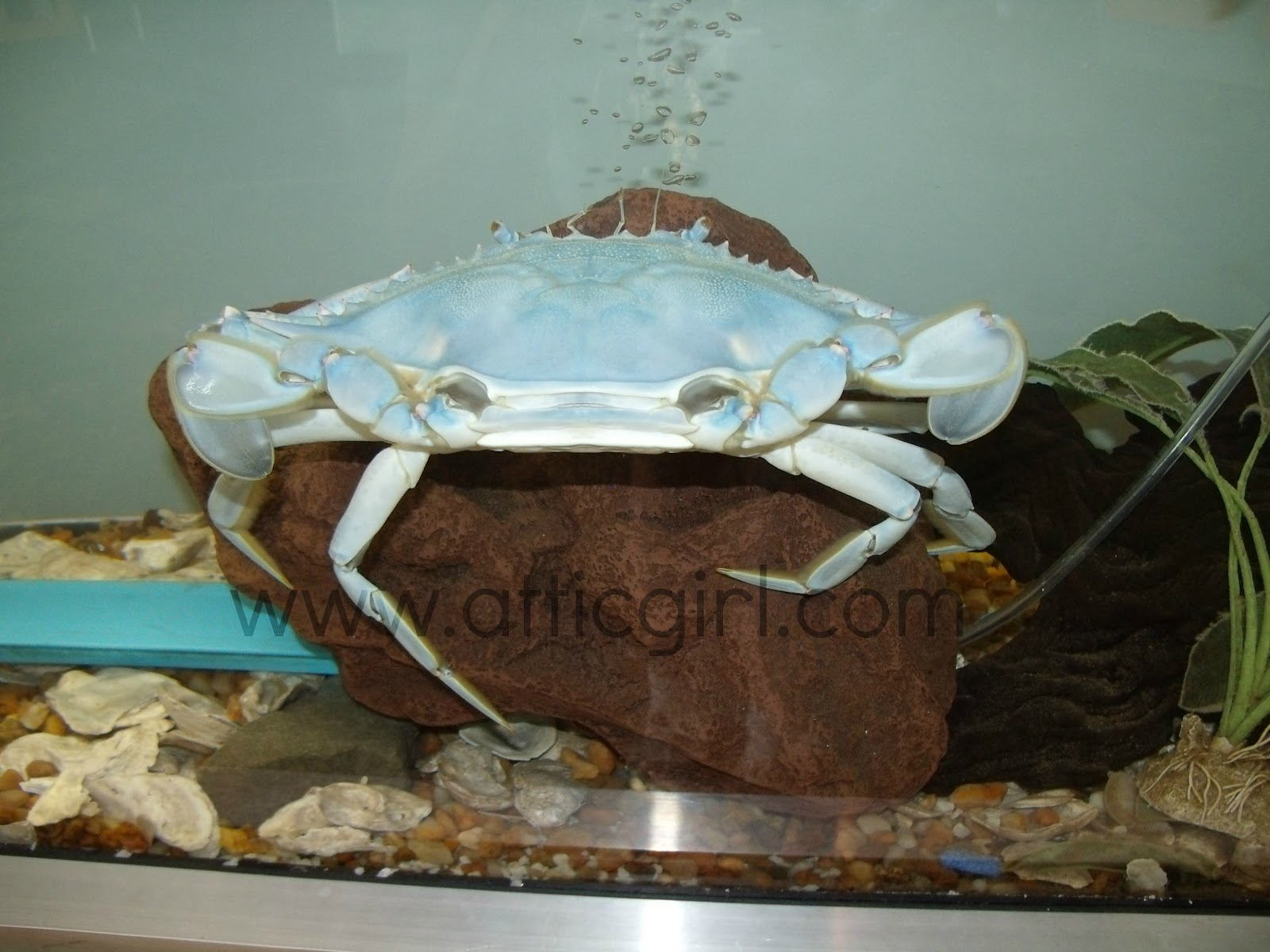 Maryland Science Center, aquarium, blue crab