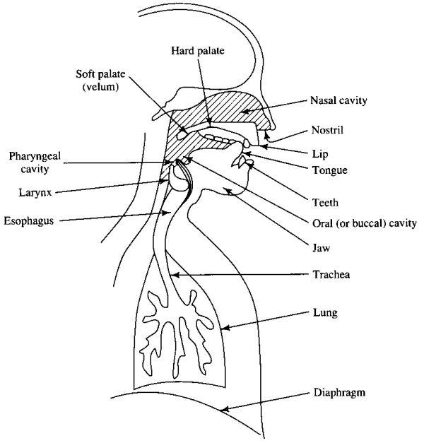 diagram of voice production