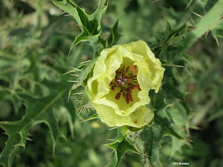 prickly poppy flower, Satla Argentina