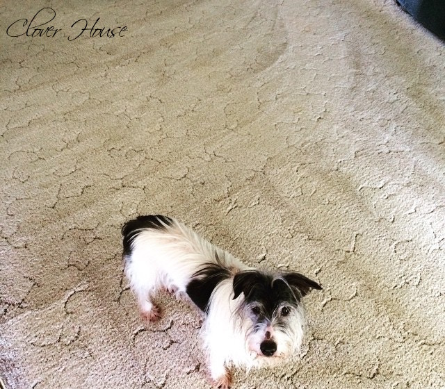 Clover House Easy Way To Remove Pet Stains