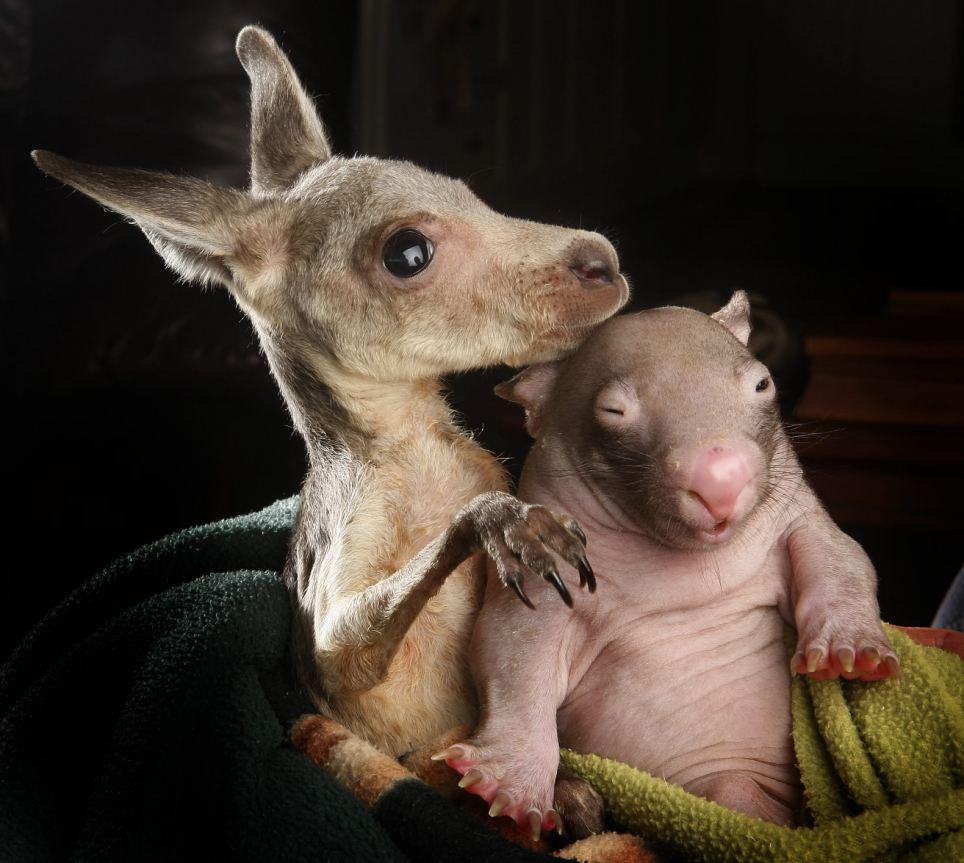 Baby Wombat: Orphaned Wombat And Kangaroo Are Best Buddies (5 Pics