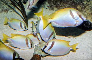 kebiasaan mencari makan ikan baronang