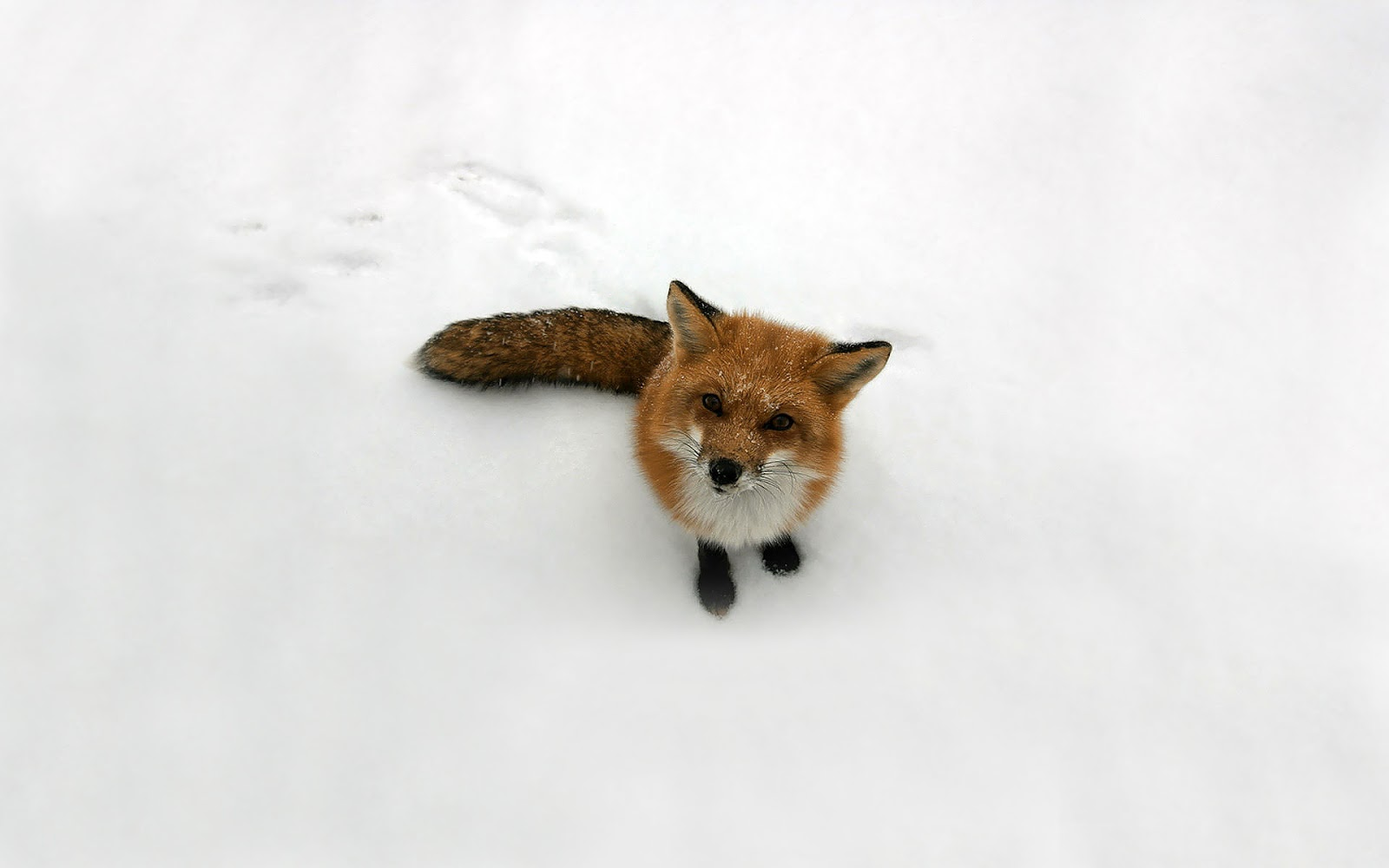 http://3.bp.blogspot.com/-PVNF2HgGzjc/US4a0dijTsI/AAAAAAAAHlU/JX9mG1h4Q5I/s1600/Red-Fox-Wallpaper+04.jpg