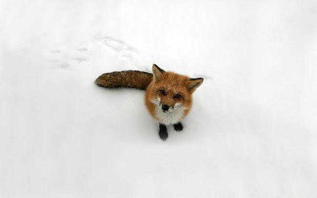 Pic Posts Wallpaper Fox Logo