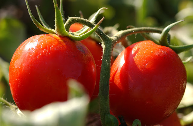 Cara menanam tomat dalam pot yang baik dan benar