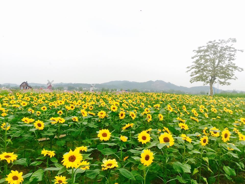Giới trẻ 'phát sốt'' với vườn hoa hướng dương tại Bắc Giang -2