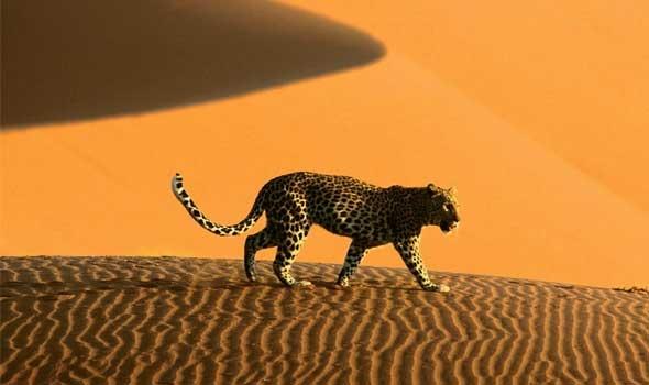الحيوانات الصحراوية وكيفية تنقلها