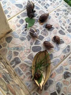 escargots qui mangent des herbes sur notre terrasse à l'île maurice