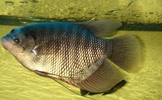 cara budidaya ikan gurame di kolam beton,cara budidaya ikan gurame di kolam terpal,ikan gurame di kolam beton,gurame di kolam terpal pdf,