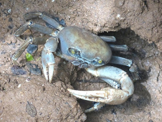 Crabe terrestre bleu - Cardisoma guanhumi - Crabe de terre commun - Crabe terrestre blanc