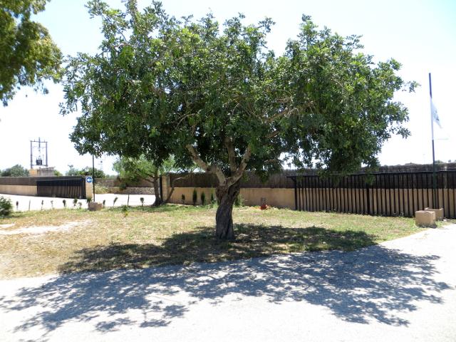 Carob tree johanneksenleipäpuu Mallorca
