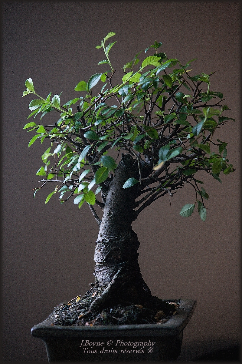 Bonsai D Interieur Especes Mes Plantes Et Bonsaï