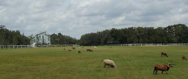 Cabras en la SR 78