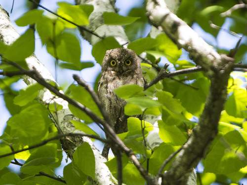 Photo of Oriental scops owl - Otus sunia