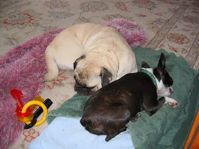 Liam the pug and Sinead the Boston terrier sharing a bed
