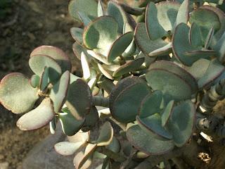 Crassula arborescens - Arbre de jade