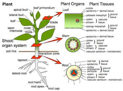 Pengangkutan Air dan Mineral Pada Tumbuhan