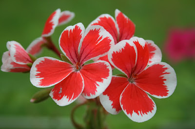 Pelargonie Mr. Wren