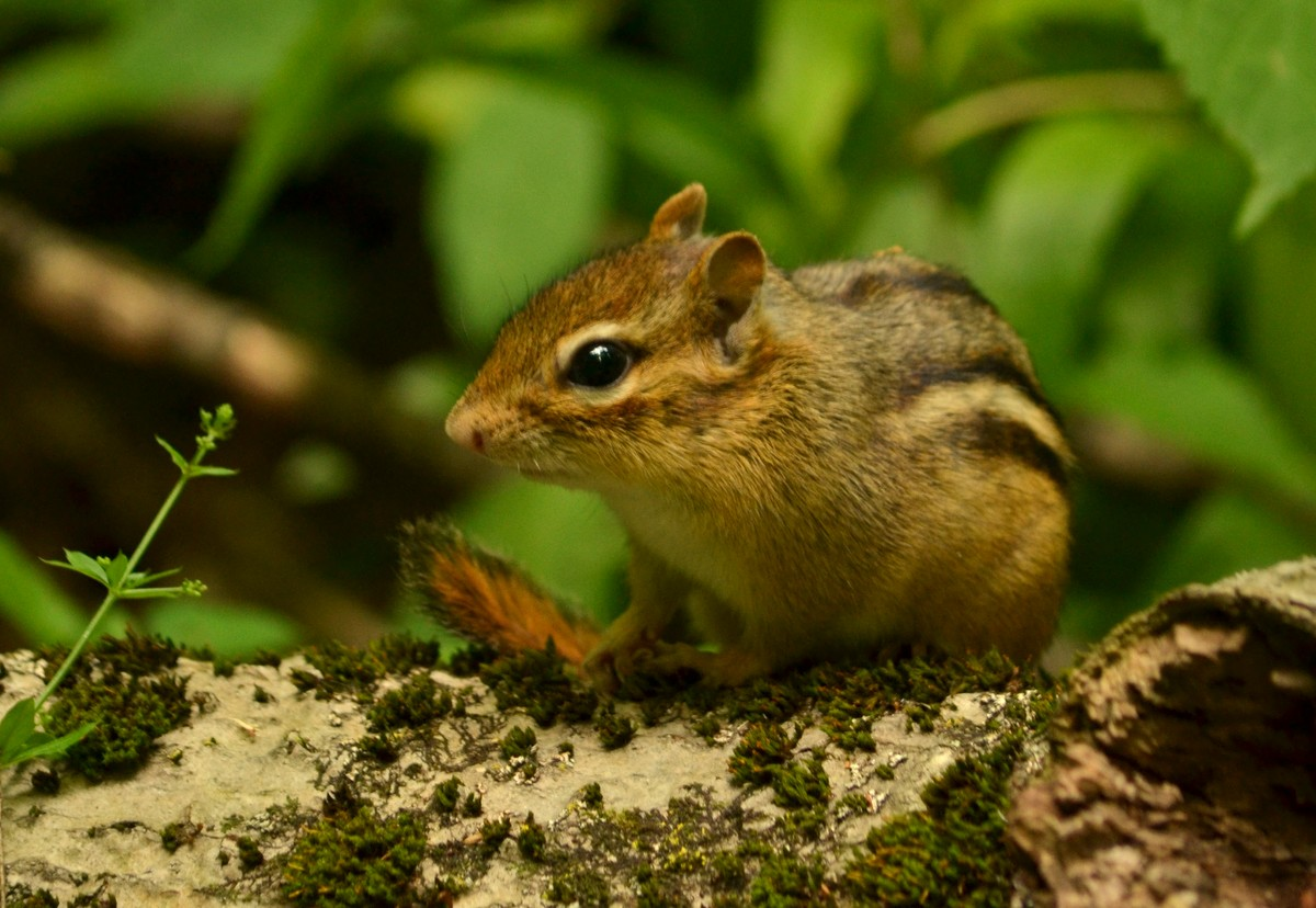 Woods walks and wildlife welcome to ithaca new york its so nice to be around eastern chipmunks again this little fellow had a mossy perch near the path sciox Images