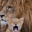 cub and lion