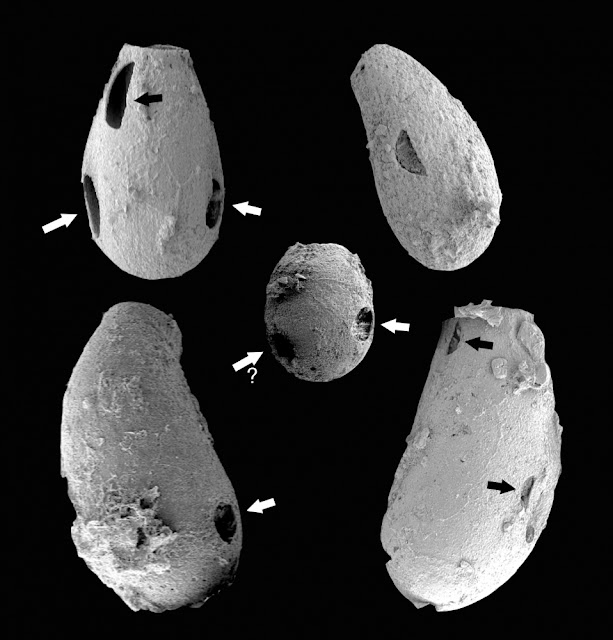 Tiny 'vampires': Paleobiologist finds evidence of predation in ancient microbial ecosystems
