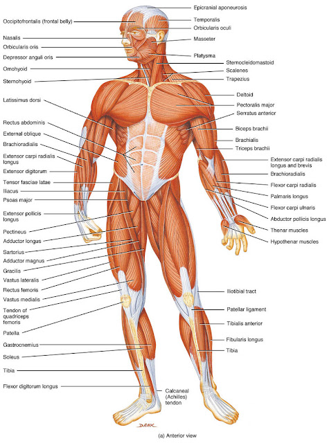 Muscles In The Human Body
