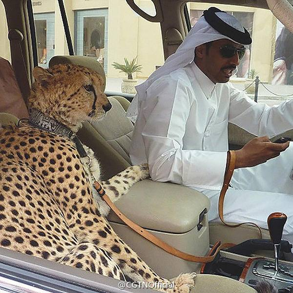 Wealthy people in the Gulf countries playing and going out with their pet lions.