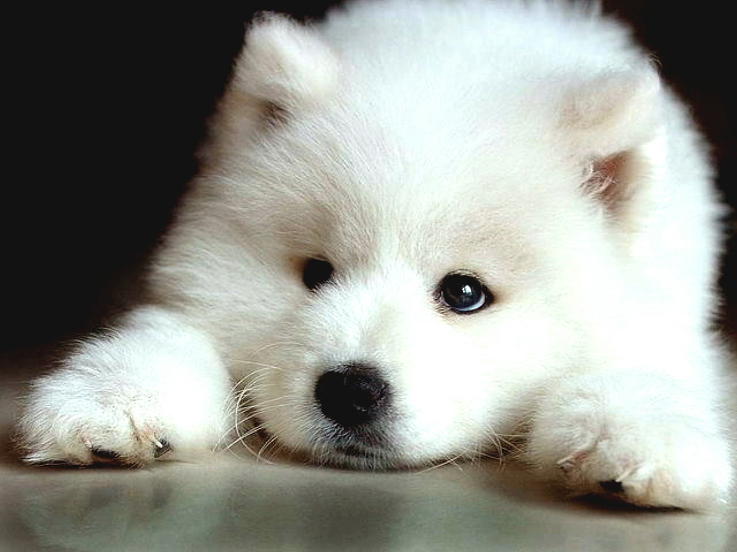 samoyed puppies - Wallpapers Free