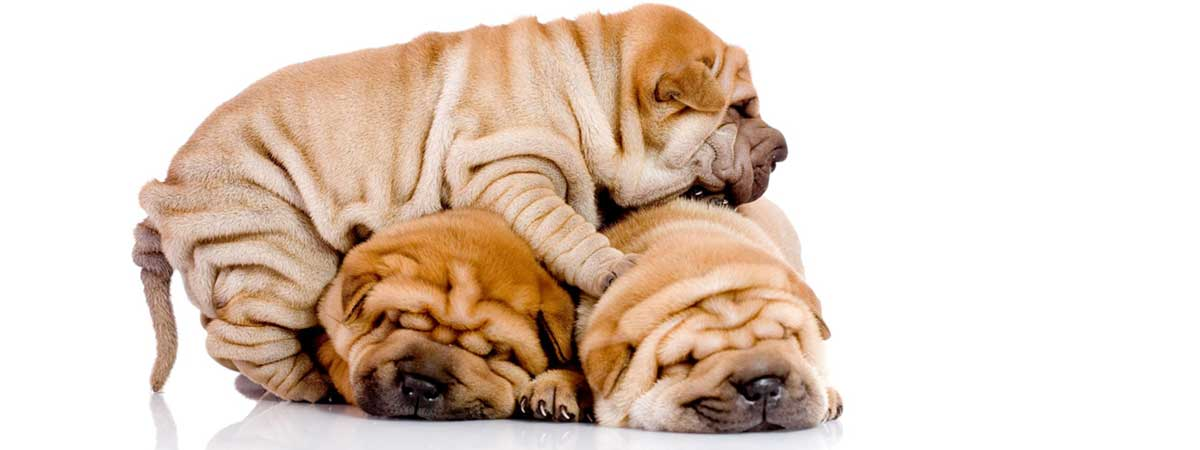 Chinese Shar Pei Good Guard Dogs