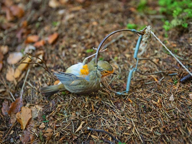 A metal snap trap has fatally pinned a Robin by its neck in Italy