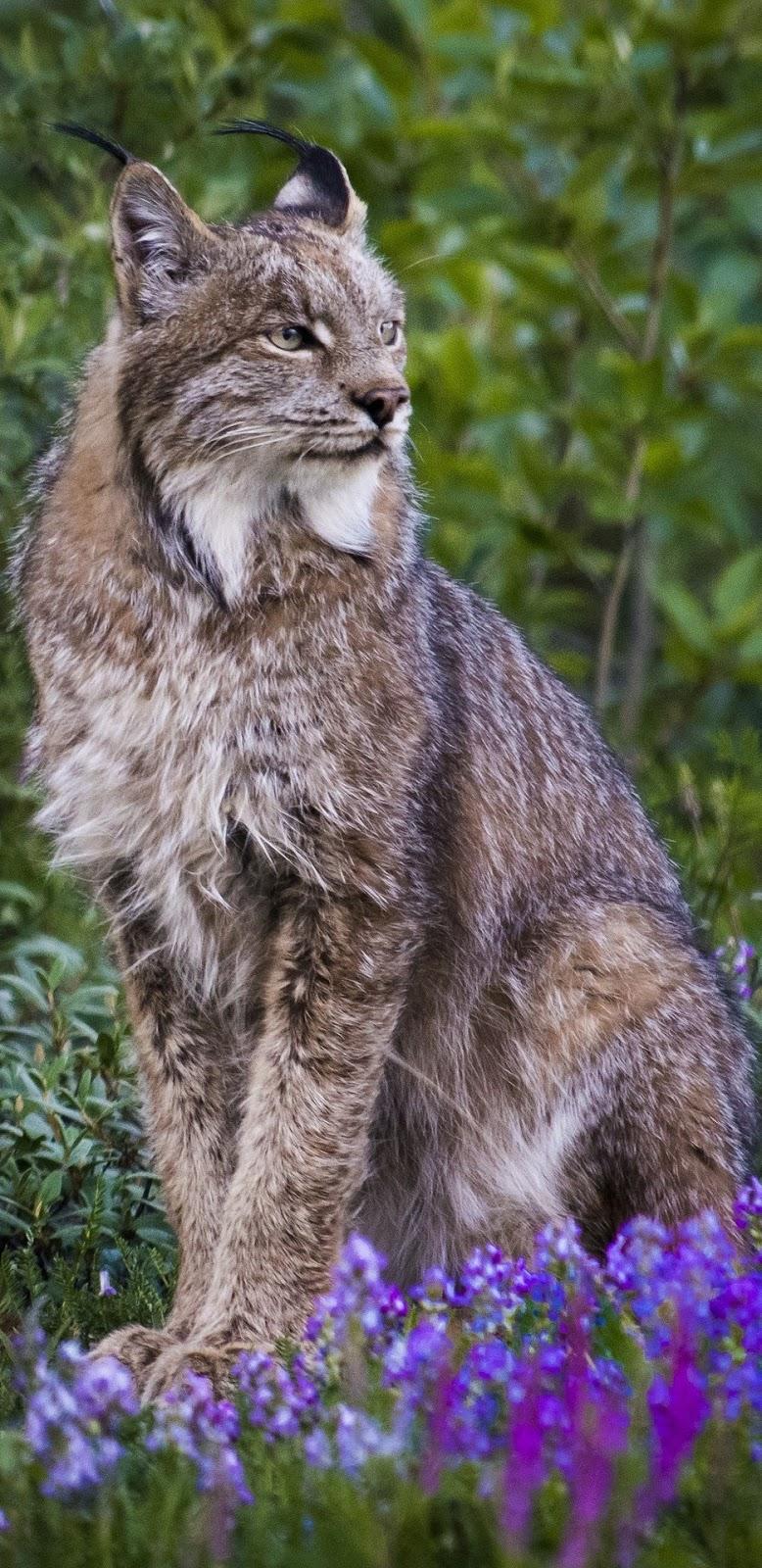 A majestic lynx .