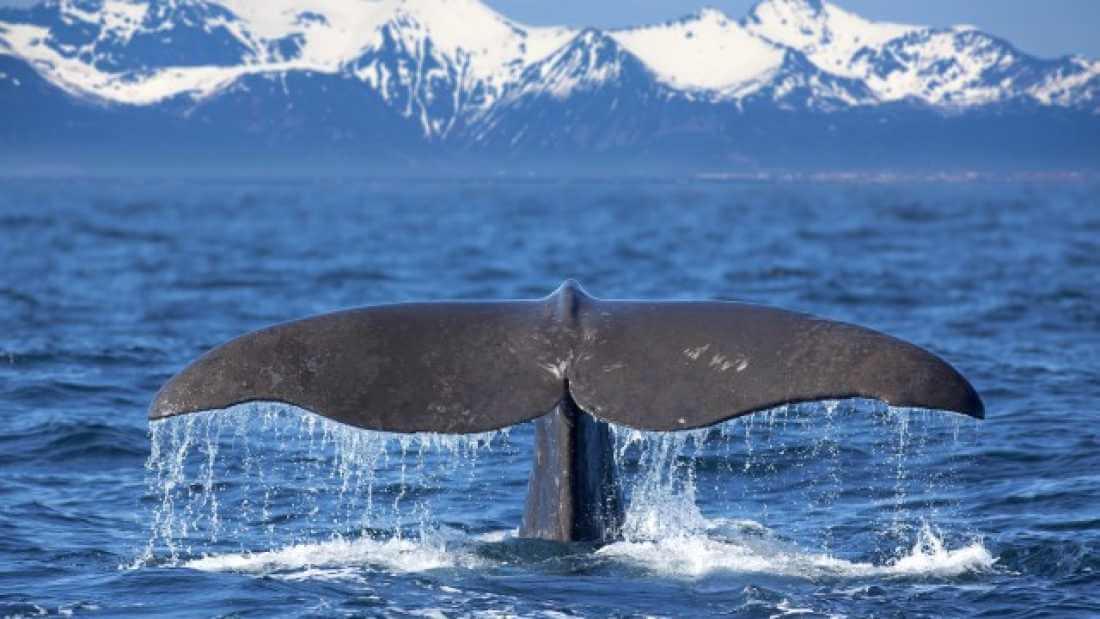 الحيتان تُرشدنا لتطوير الدم الصناعي
