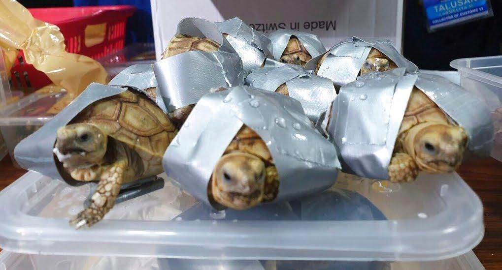 1529 tartarughe esotiche scoperte in valigie all'aeroporto delle Filippine.
