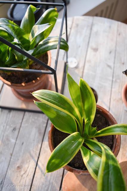 viherkasvi kasvi kukka koti anopinhammas anopinkieli trendikäs sisustaminen