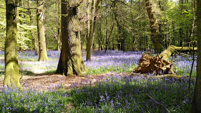 Bluebell woods at Aston Rowant Nature Reserve