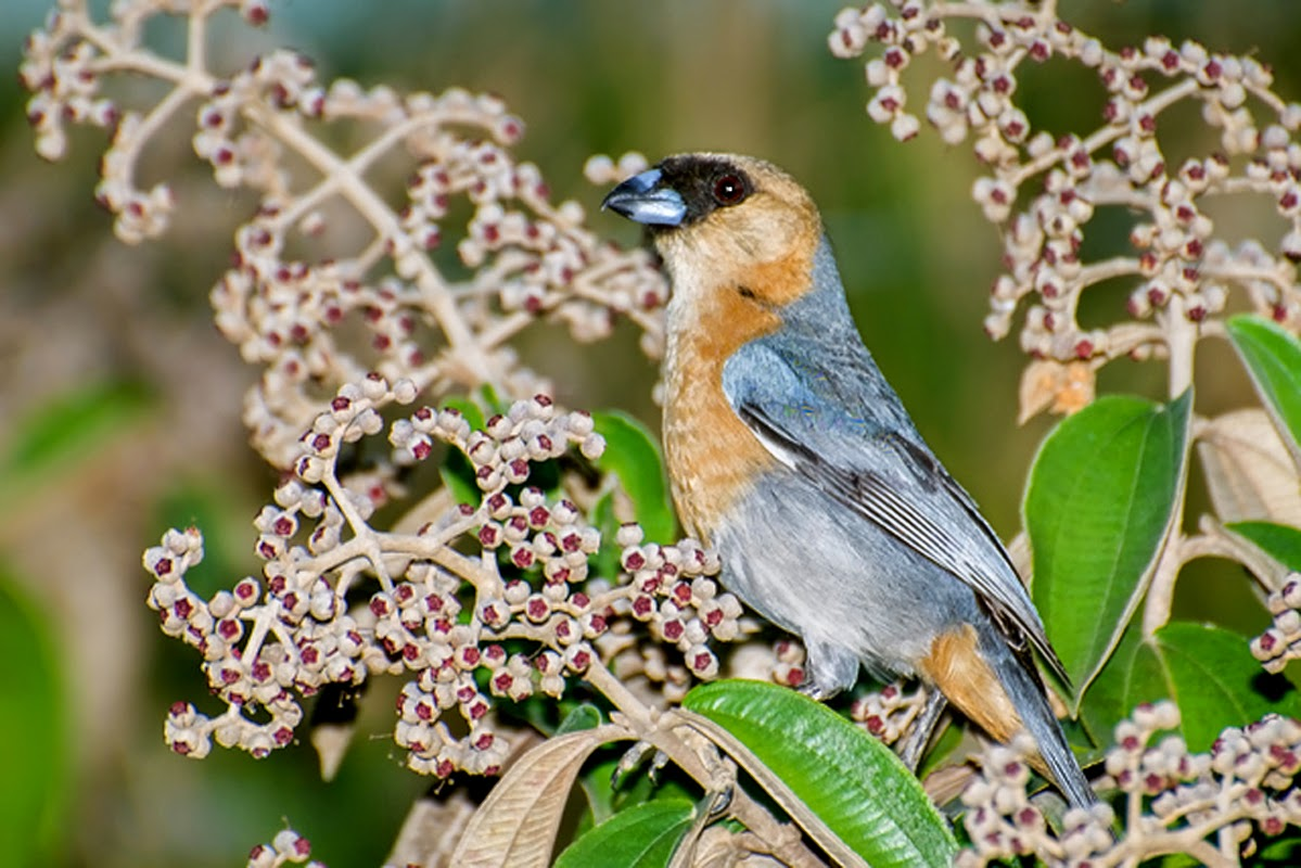 birds Cinnamon Tanager